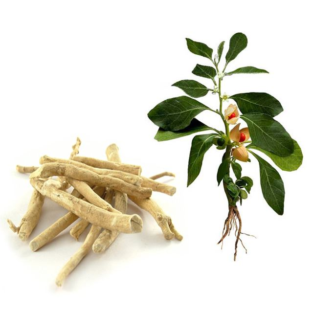 root and stem of ashwagandha